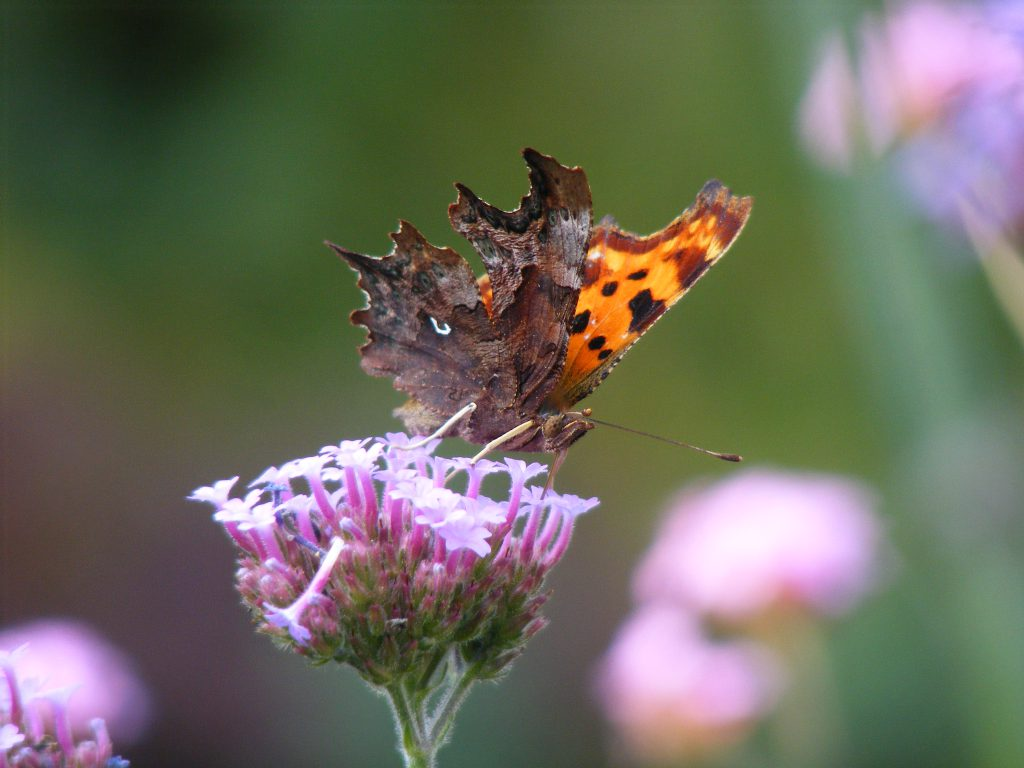comma-butterfly-15-september-2016-comma-6