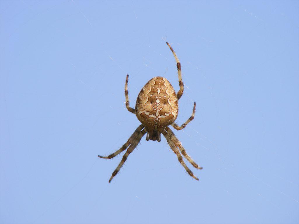diadem-spider-15-september-2016-009