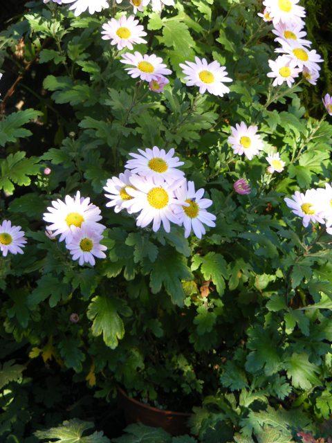 chrysanthemums-2-november-2016-001