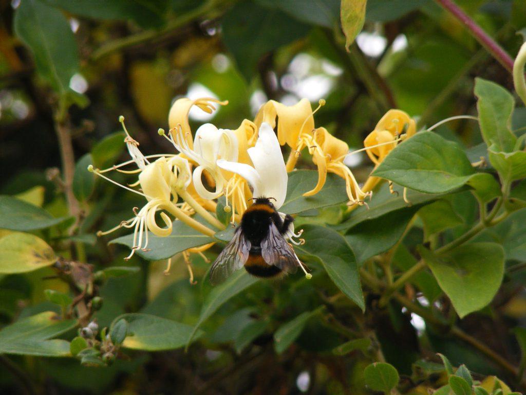 honeysuckle-bee-31-october-2016-015